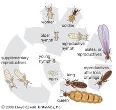 Life cycle of termite